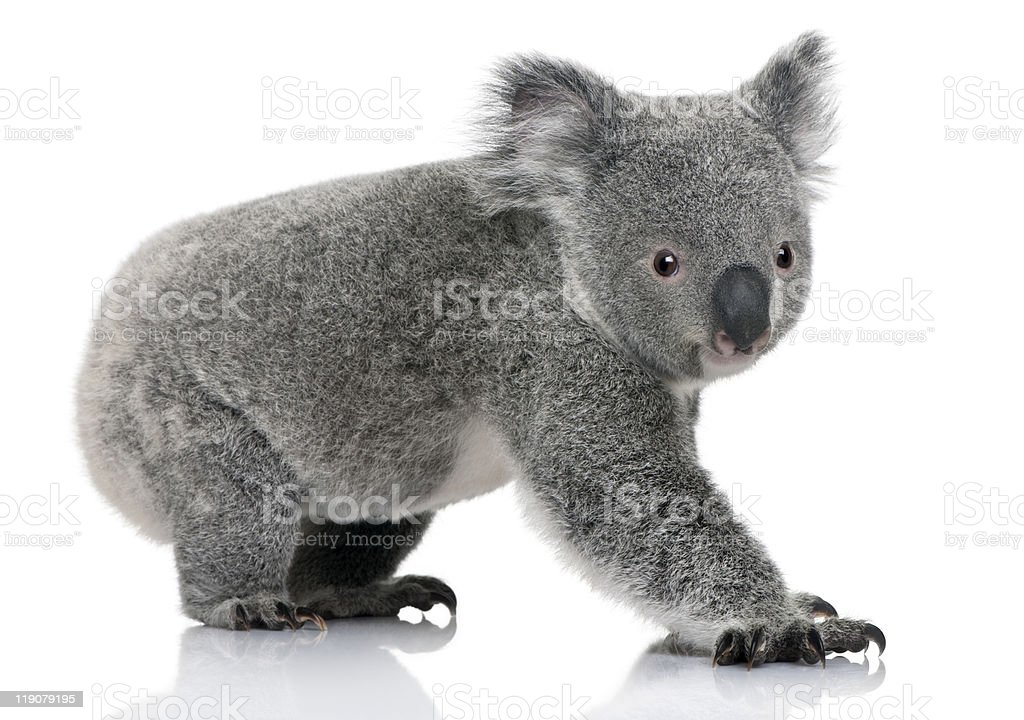 Profile of Young koala, standing and looking at the camera stock photo