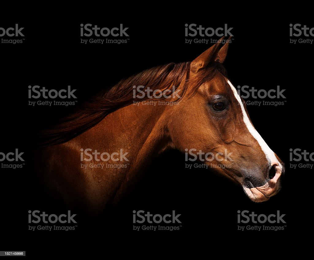 Profile picture of an arabian horse royalty-free stock photo