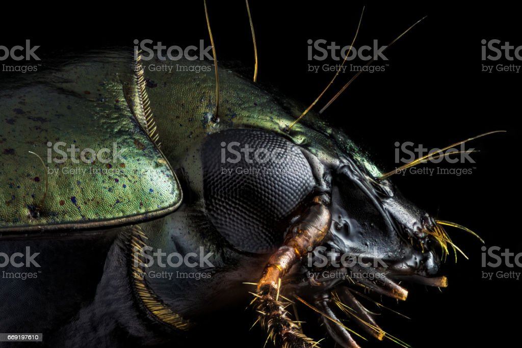 Profile portrait of a green beetle stock photo