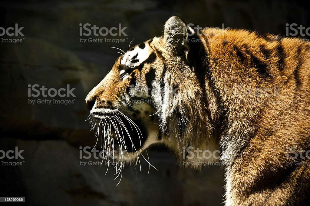 Profile Portrait of a Large Bengal Tiger stock photo