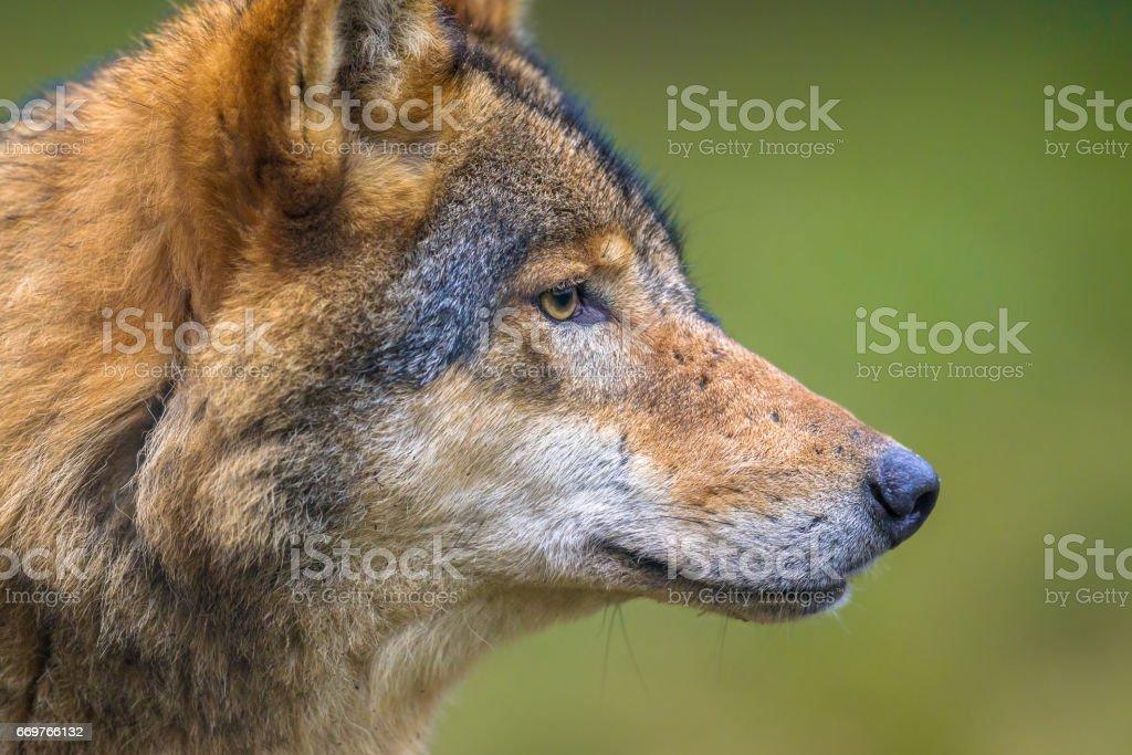 Profile portrait of European Wolf stock photo