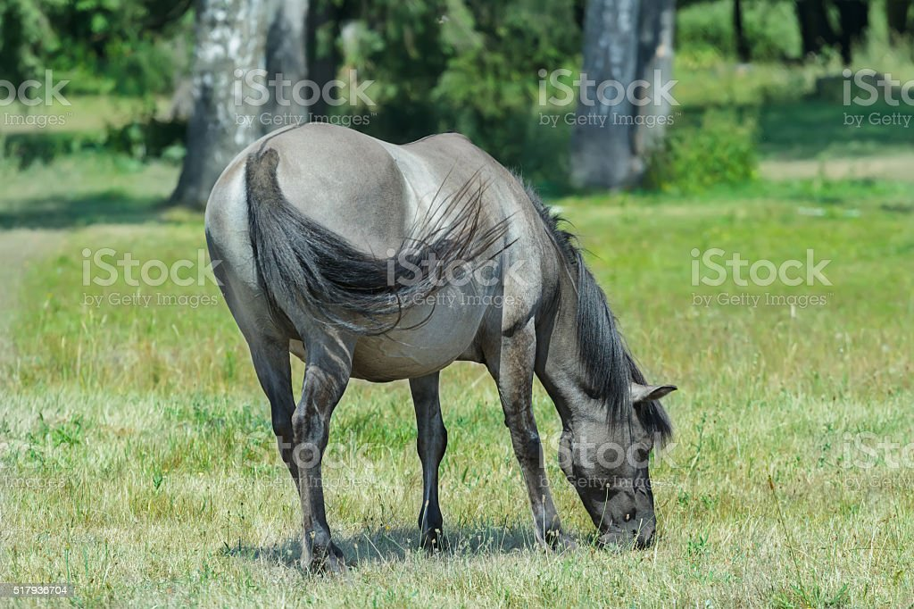 Profile portrait of feeding tarpan horse at green bushes background stock photo