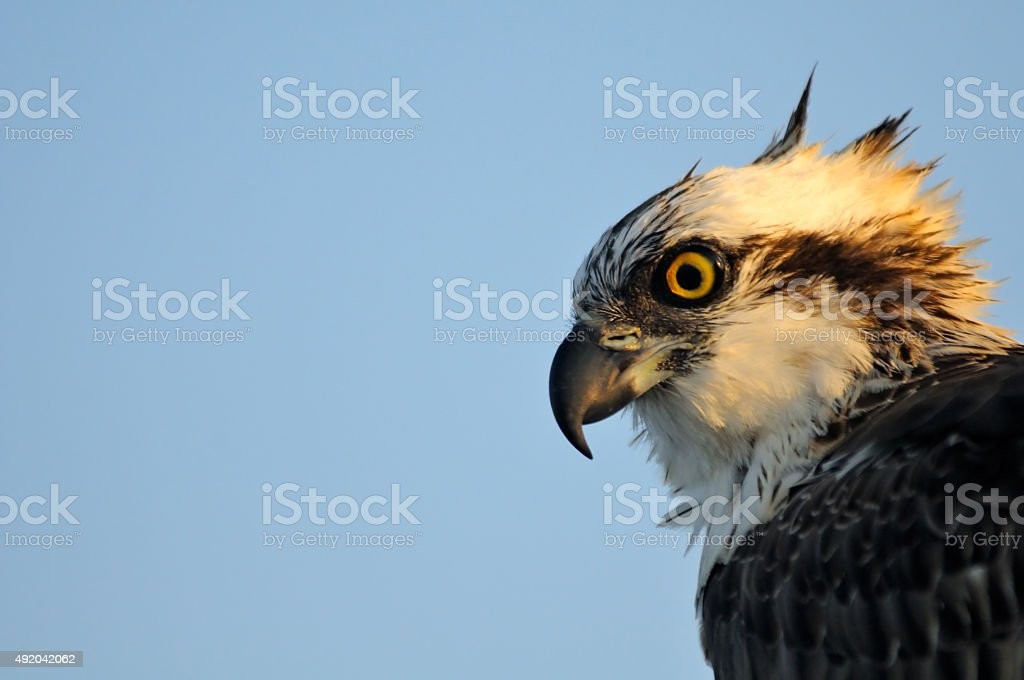 Profile portrait of Osprey stock photo