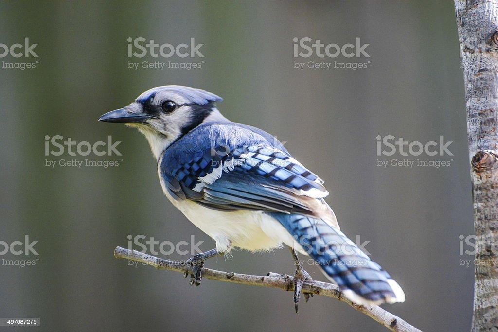 Profile Shot Of Beautiful Blue Jay Bird Perched royalty-free stock photo