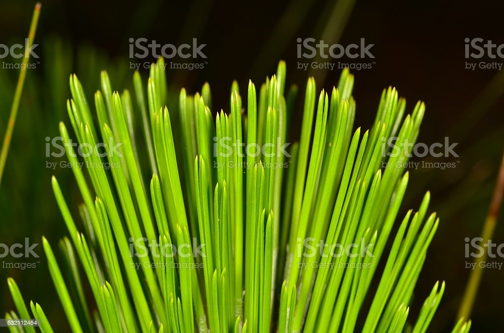 Profile shot of Loblolly Pine needles in clusters of three stock photo