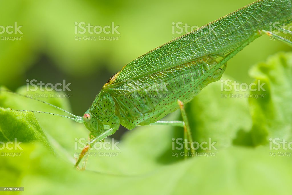 Profile view of a green grasshopper stock photo