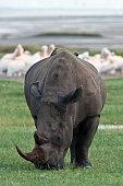 Profile view of a white rhinoceros