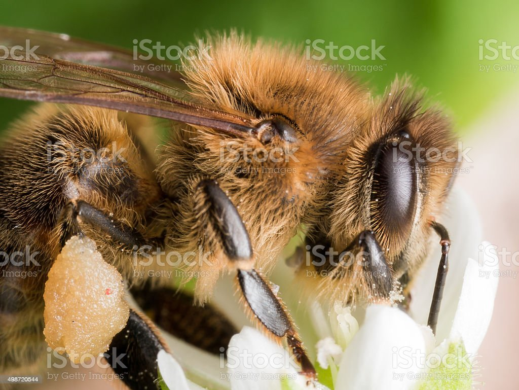 Profile View of Honey Bee Extracting Pollen from White Flower stock photo
