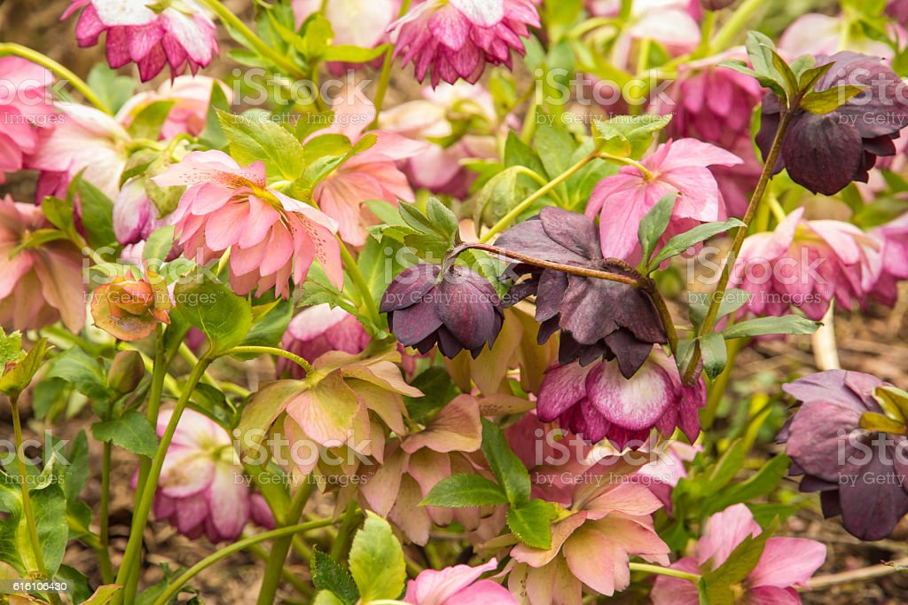 Profusion of Pink, Purple, and Peach Flowering Hellebores stock photo