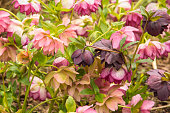 Profusion of Pink, Purple, and Peach Flowering Hellebores