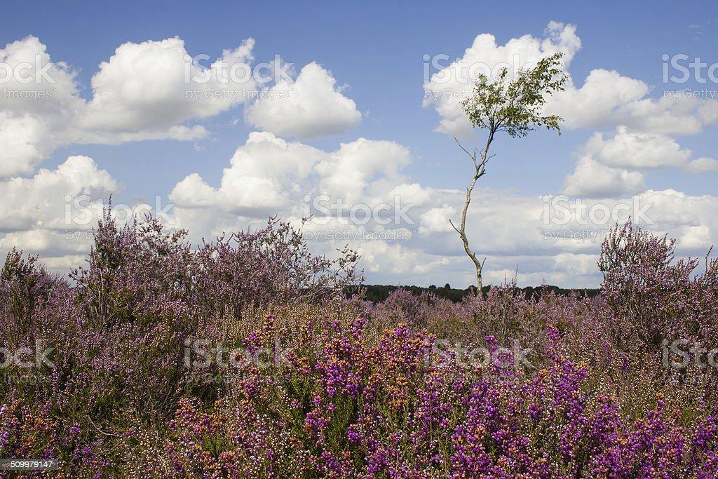 Profusion of purple on Westleton Heath stock photo