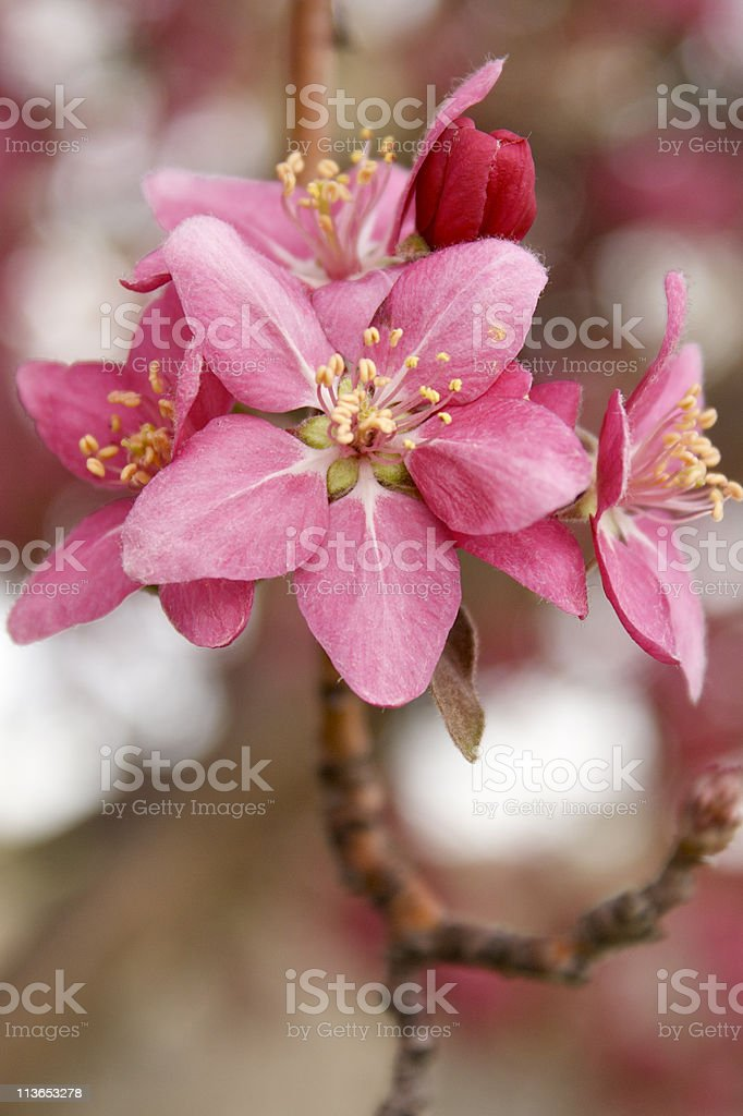 'Profusion' Pink Flowering Tree stock photo