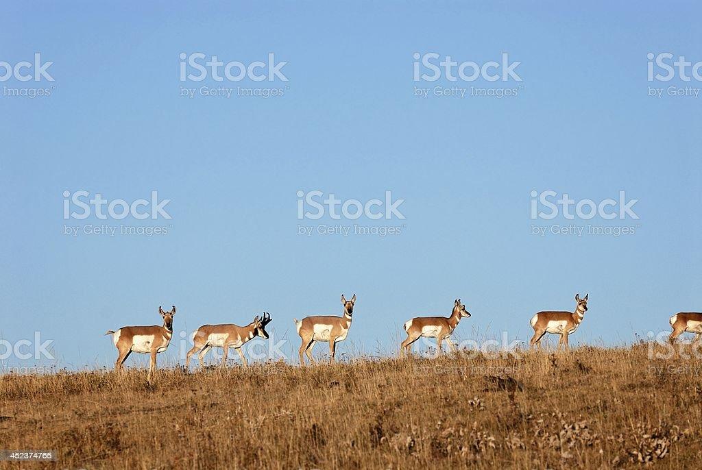 Proghorn Antelope on a Ridge royalty-free stock photo