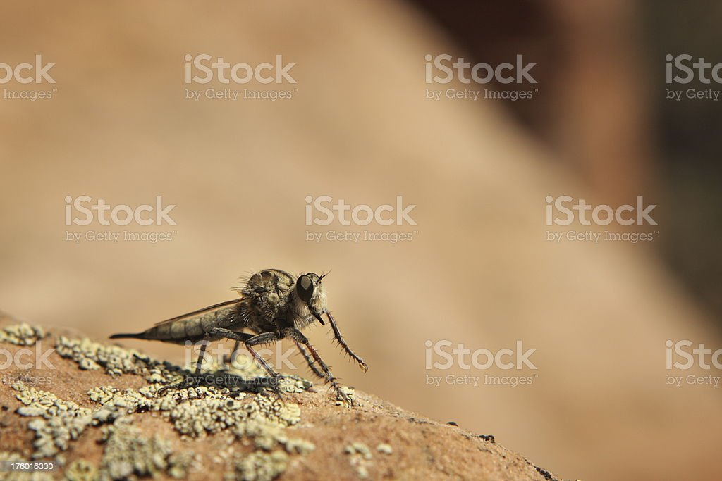 Promachus Robber Fly Insect royalty-free stock photo
