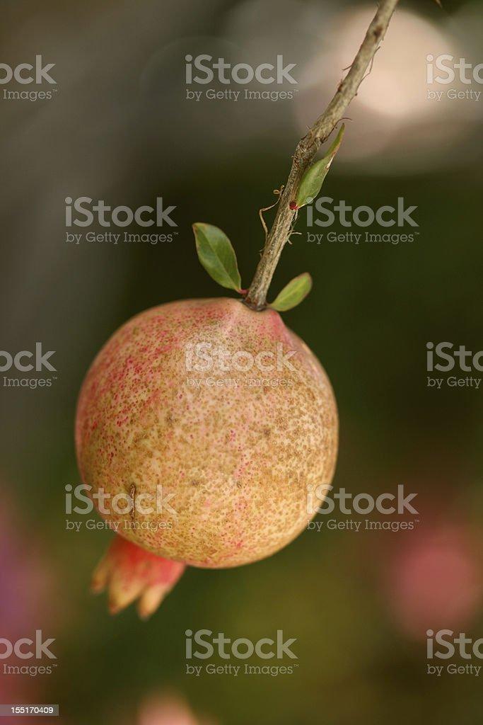 promegranate fruit  stock photo