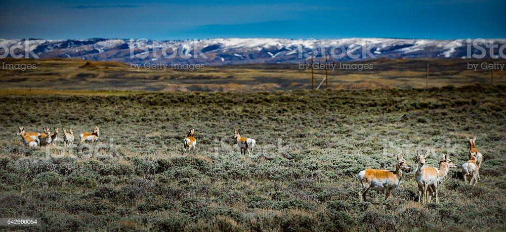 Prong Horn Antelope Wyoming USA stock photo