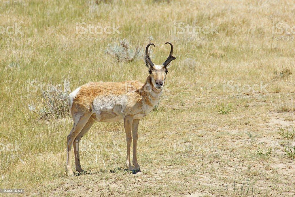 Pronghorn antelope buck in grassland stock photo