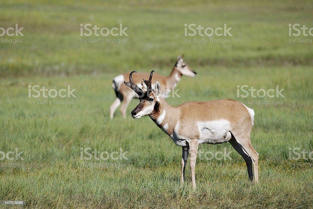 Pronghorn Antelope Buck stock photo