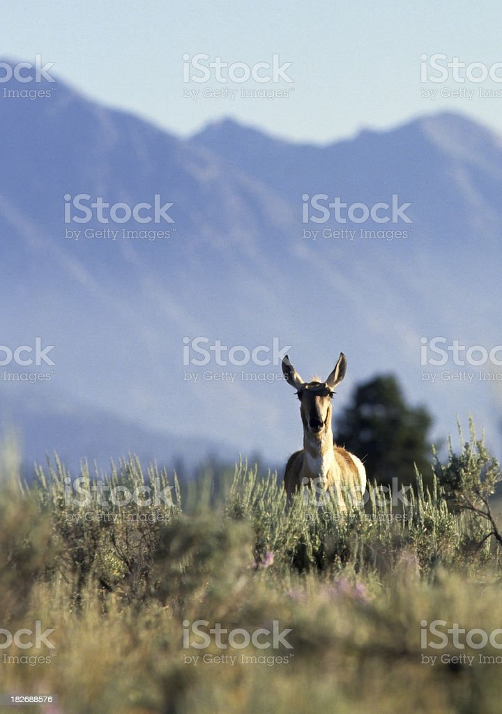 Pronghorn Antelope doe royalty-free stock photo