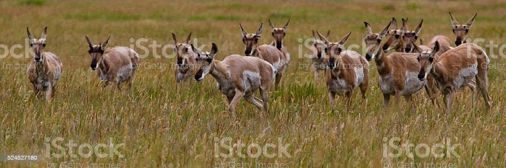 Pronghorn Antelope II stock photo