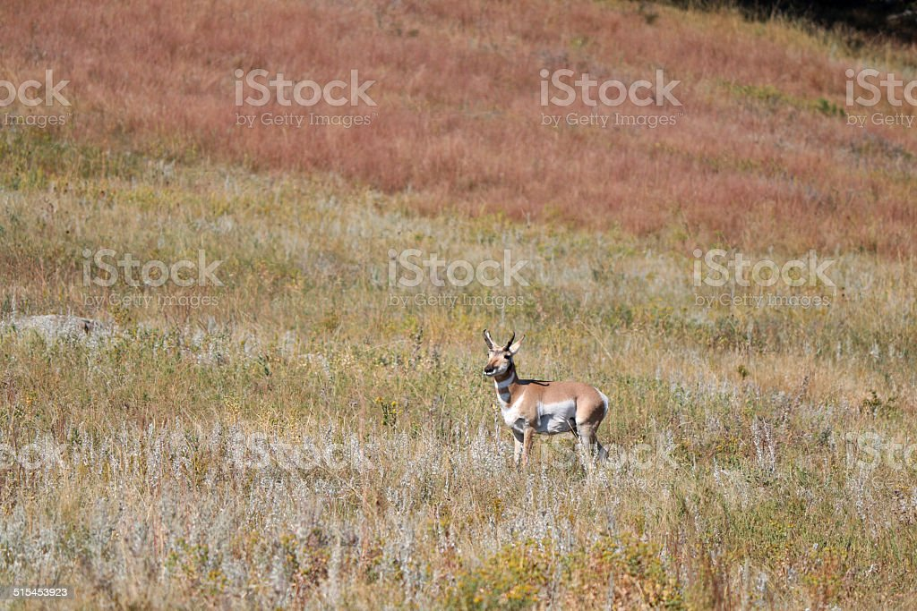 Pronghorn Antelope in the Black Hills stock photo