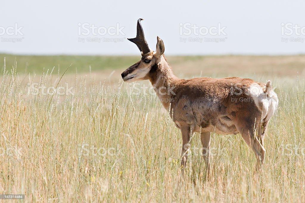 pronghorn antelope royalty-free stock photo