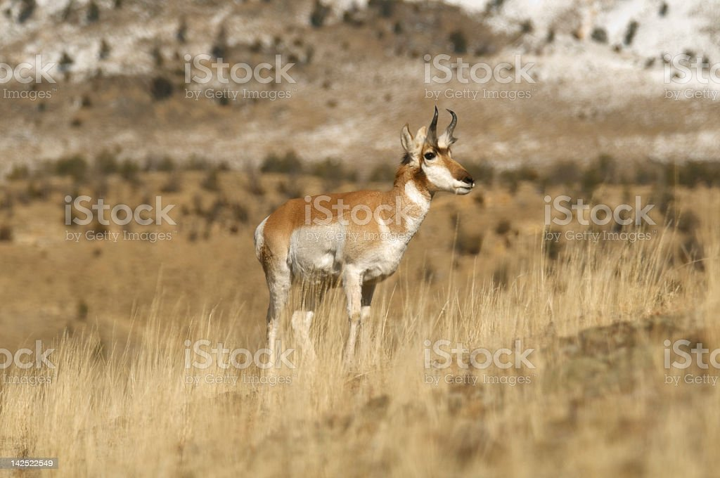 Pronghorn Antelope Stag on hill yellostone Park stock photo