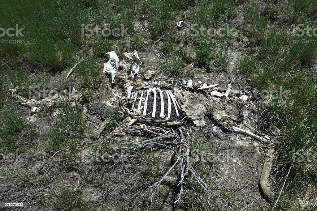 Pronghorn Carcass stock photo
