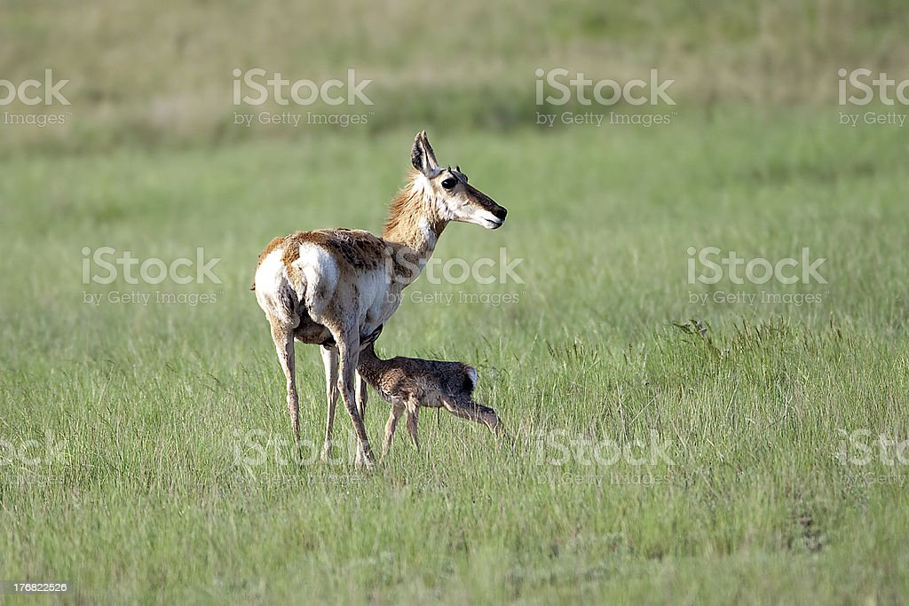 Pronghorn Doe and Fawn stock photo