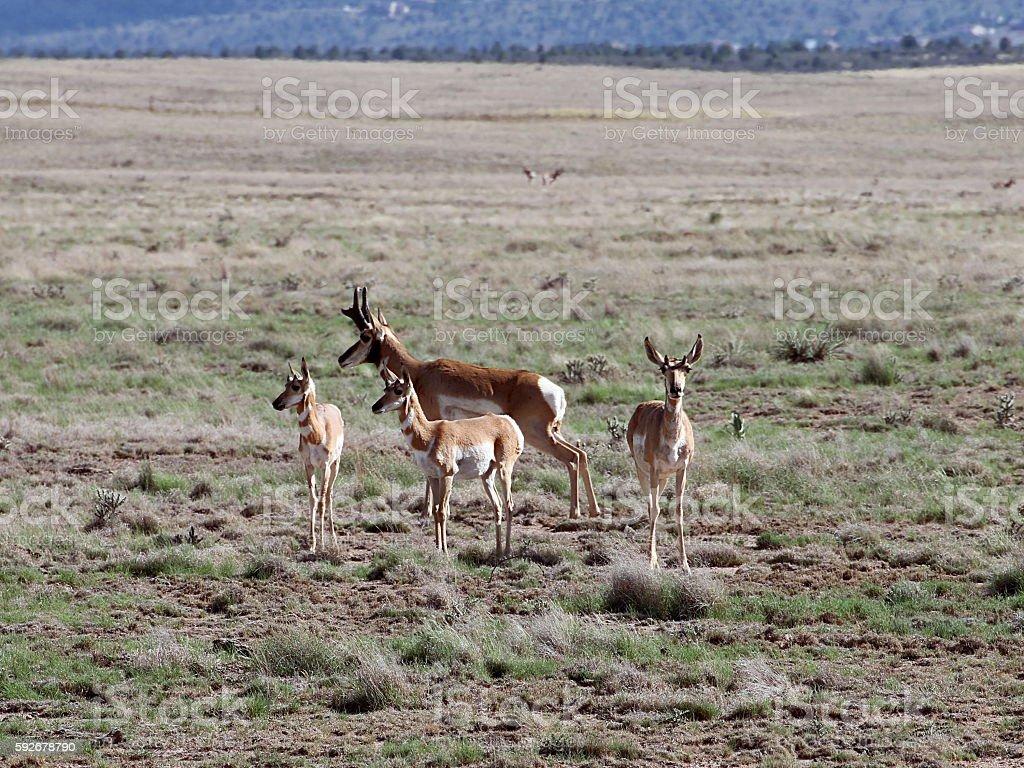 Pronghorn Family in Prescott Highlands stock photo