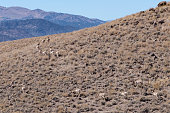 Pronghorn on a hillside in Nevada