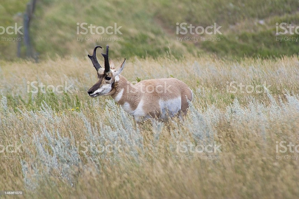 Pronghorn royalty-free stock photo