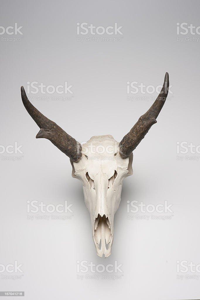Pronghorn Skull royalty-free stock photo