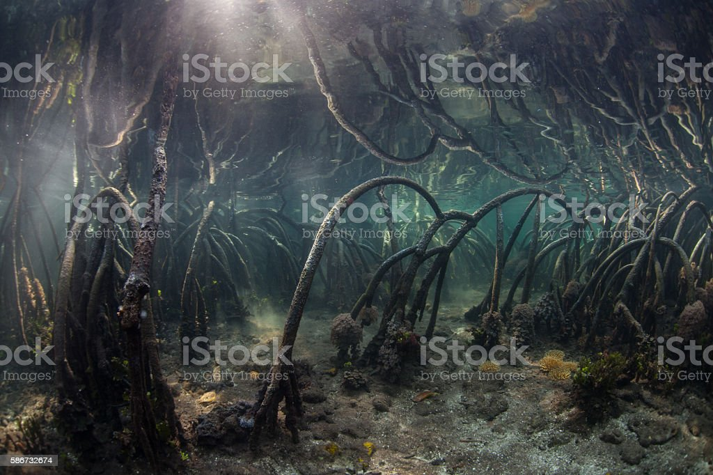 Prop Roots in Blue Water Mangrove stock photo