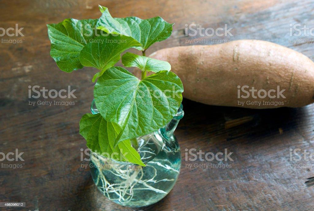 Propagating Sweet Potato Slips stock photo