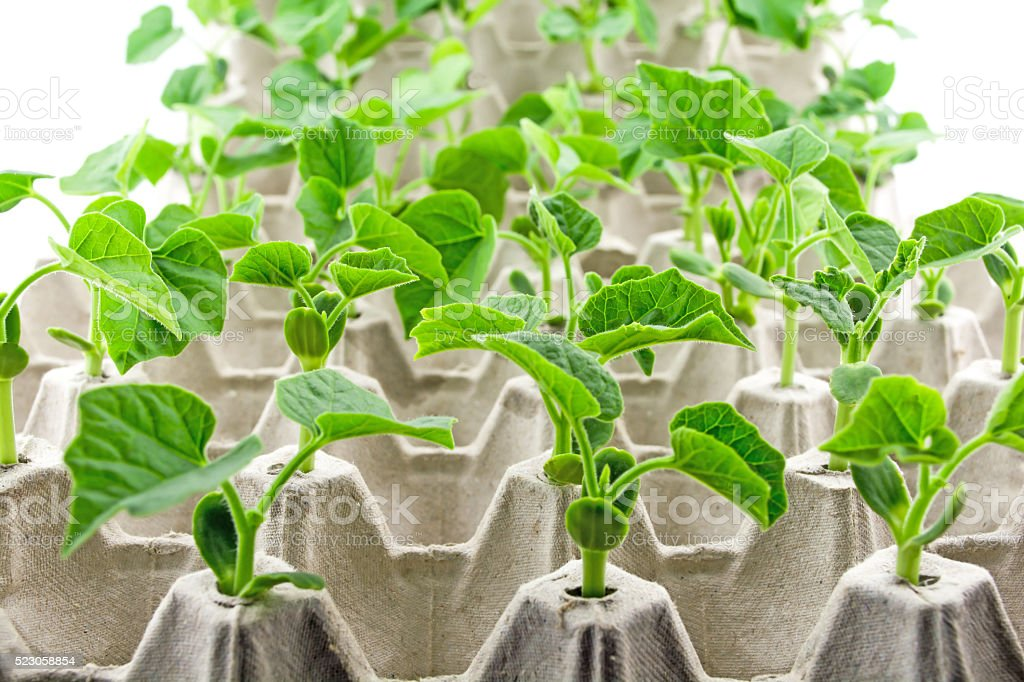 Propagation of plant sprout stock photo