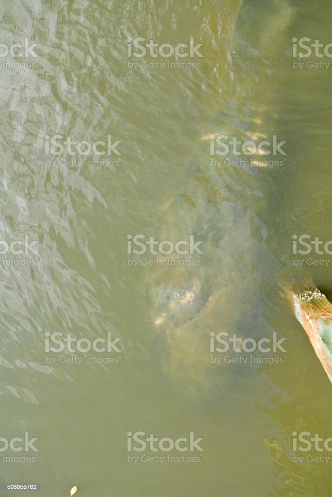 Propeller Scars on a West Indian Manatee stock photo