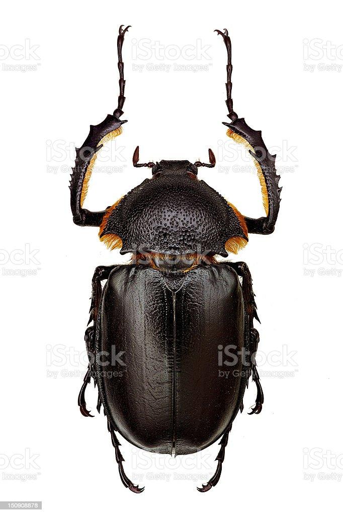 Propomacrus bimucronatus stock photo