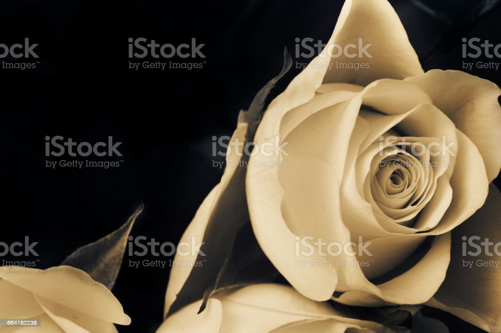 Proposal white rose. Sad rose flower. stock photo