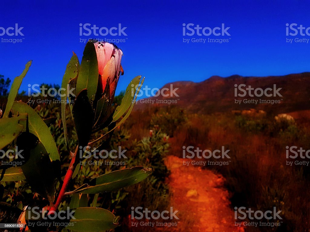 Protea against a blue sky in the mountains stock photo