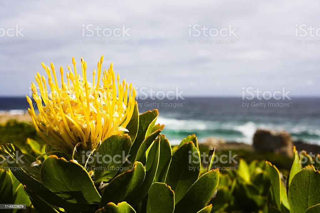 Protea at the seaside stock photo