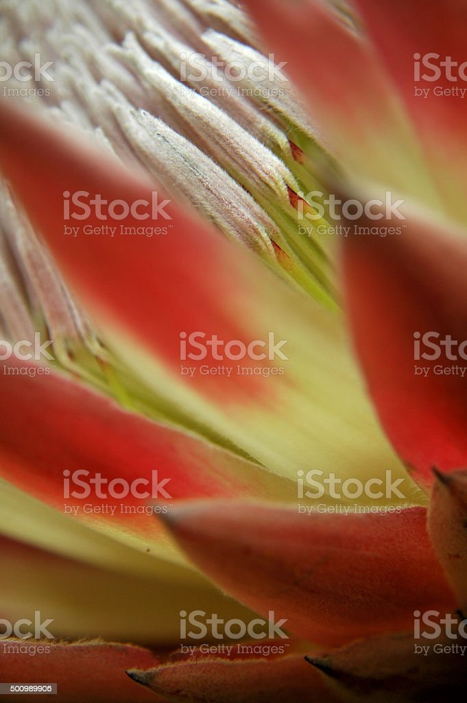 Protea Closeup Abstract stock photo