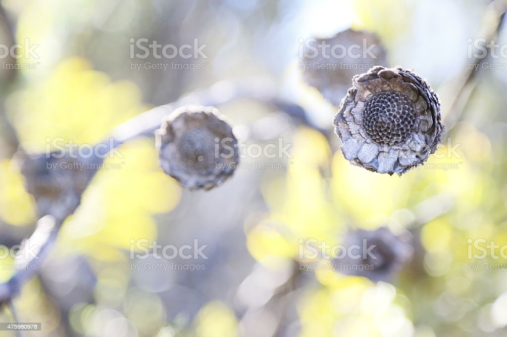 Protea - Dried and Burned Fynbos Flowers after bush fire stock photo