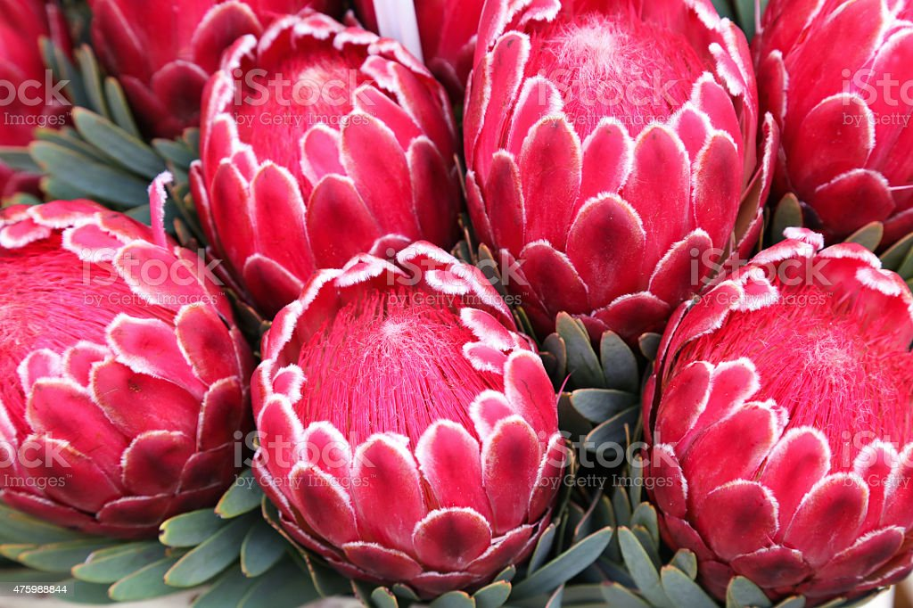 Protea Flower Against Orchids stock photo