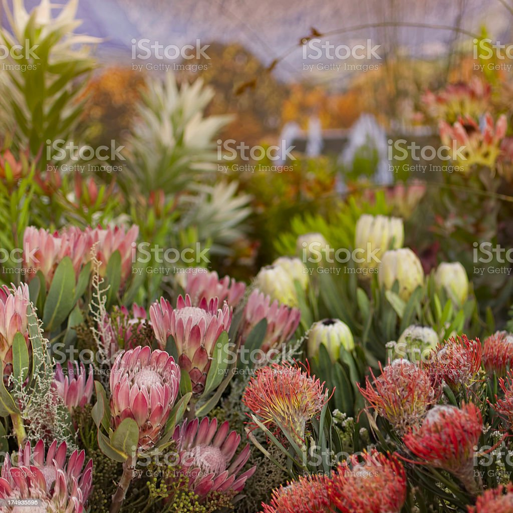 Protea Flowers stock photo