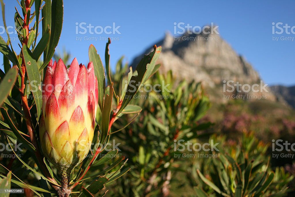 Protea on  Table Mountain royalty-free stock photo
