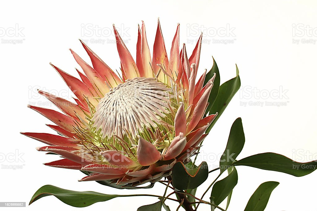 Protea stock photo