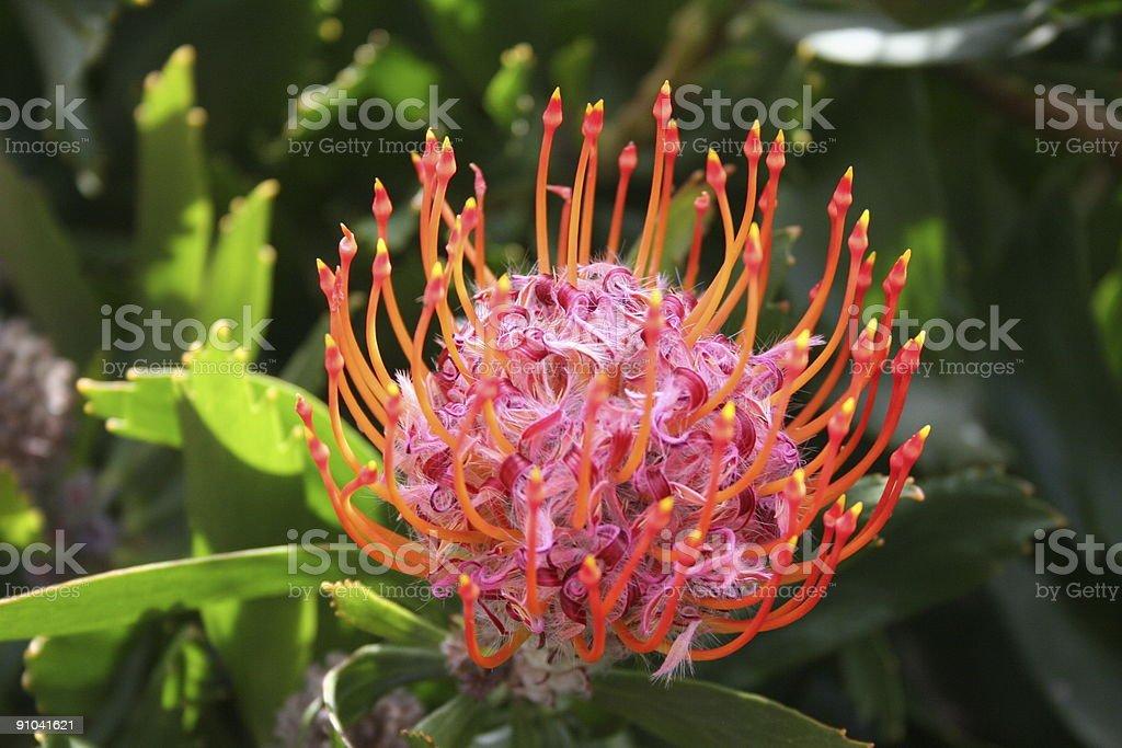 protea royalty-free stock photo
