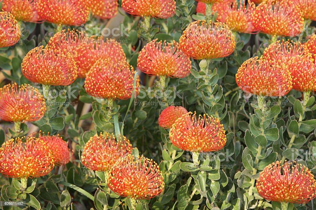 Protea Pincushion Flowers Leucospermum cordifolium stock photo