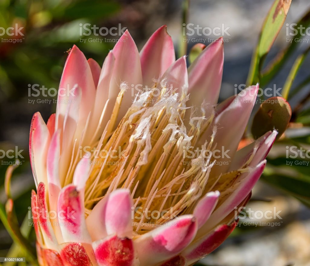 Protea repens stock photo